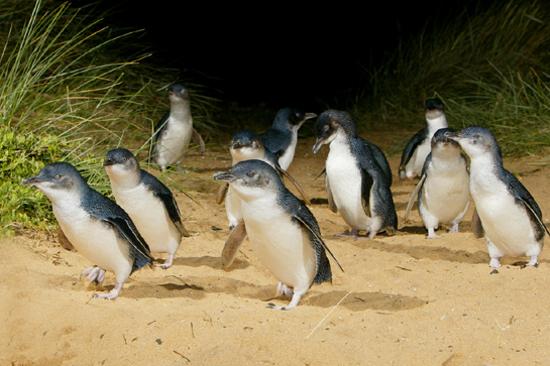 夜觀神仙企鵝回巢
