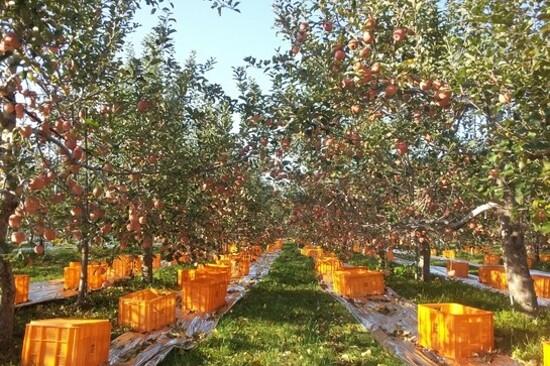 青松蘋果園