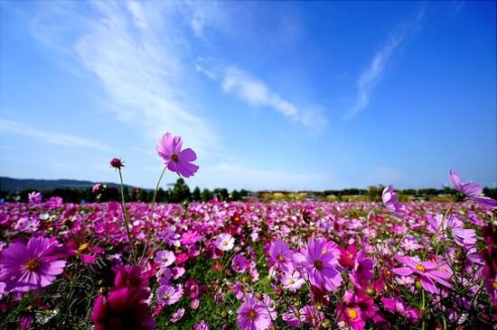 九里漢江公園(賞波斯菊)