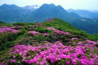 莽山高山杜鵑花