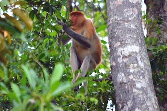紅樹林長鼻猴之旅