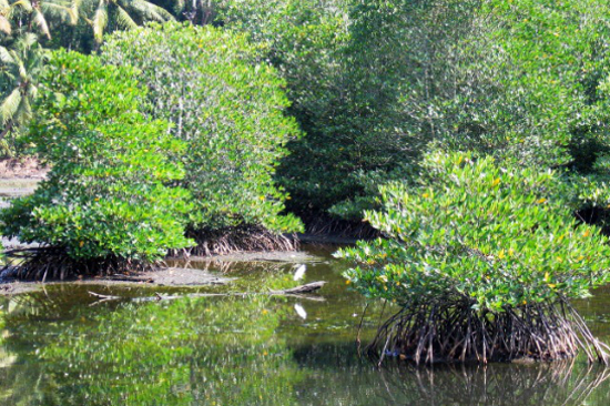 浮羅交怡紅樹林
