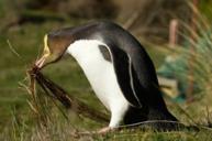 探訪野生黃眼企鵝 (奧塔哥卡島)