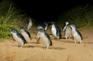 菲利普島夜觀神仙企鵝