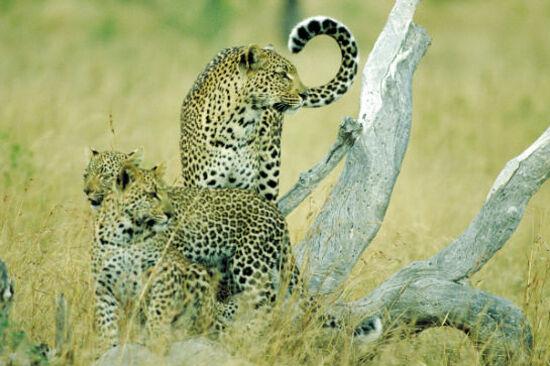 捕獵者動物世界