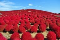 全球最浪漫花海之一~日立海濱公園