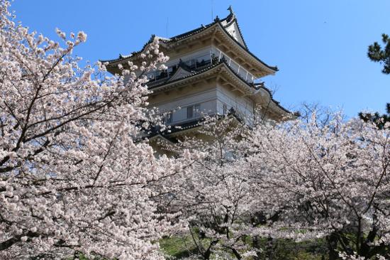 小田原城址公園櫻花