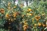 耽羅橘子園