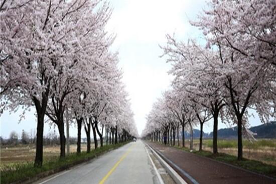 襄陽南大川(賞櫻花)