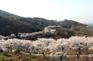 堤川櫻花隧道
