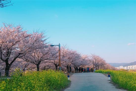 大渚生態公園賞櫻花(3月30日至4月10日出發適用)