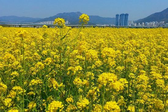 《增遊》釜山大渚生態公園(賞油菜花)(4月1日至21日出發適用)