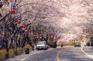 長福山公園櫻花