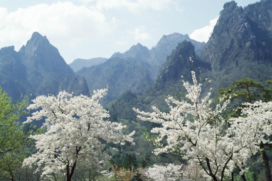 「賞櫻勝地」雪嶽山國立公園