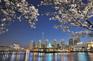 蠶室石川湖畔觀賞夜櫻