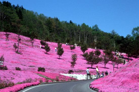 瀧上公園芝櫻