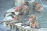 函館熱帶植物園猴子溫泉
