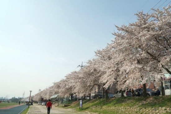 太和江大公園櫻花