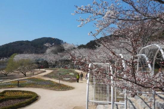 仙岩湖水公園櫻花