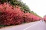 《增遊》濟州石楠路(賞紅石楠)(5月1日至30日出發團隊適用)