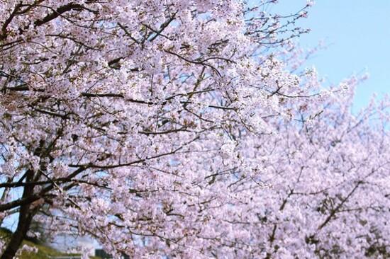 《增遊》濟州典農路(賞櫻花)(3月29日至4月10日出發團隊適用)