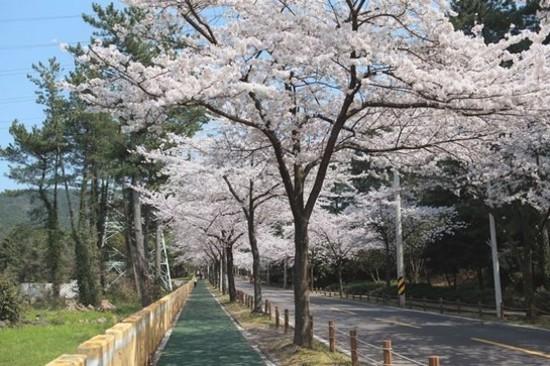 漢拿樹木園櫻花路(3月25日至4月12日出發團隊適用)