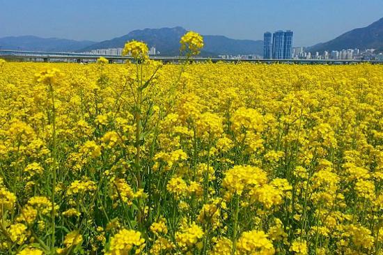 大渚生態公園賞油菜花(4月11日至21日出發適用)
