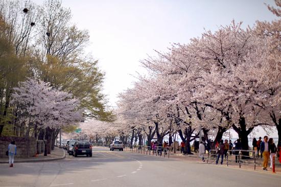 汝矣島櫻花(4月1日至16日出發適用)