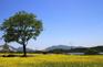 九里油菜花(5月10至20日出發特別增遊)