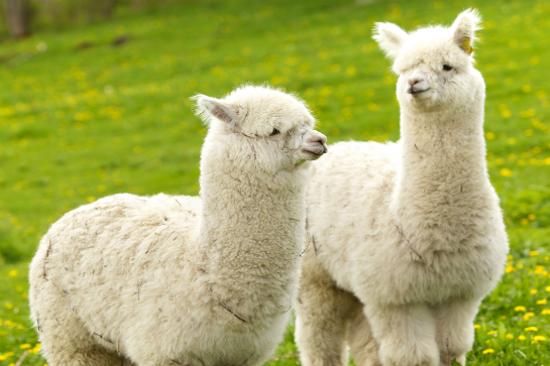 可愛羊駝牧場