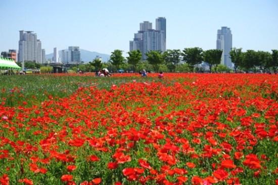 太和江大公園油菜花罌粟花