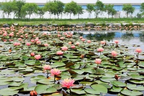《增遊》三樂生態公園(賞蓮花)(7月10日至8月10日出發團隊適用)