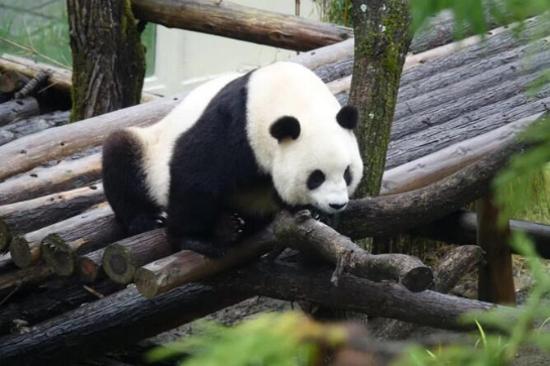 神農架熊貓館