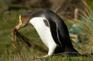 黃眼企鵝2