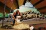 愛哥頓牧羊場剪羊毛
