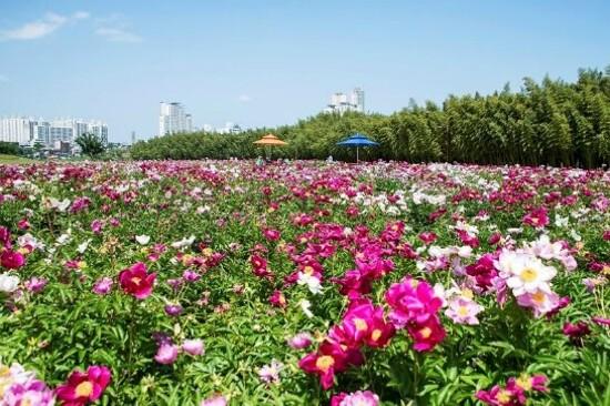 太和江大公園(波斯菊)