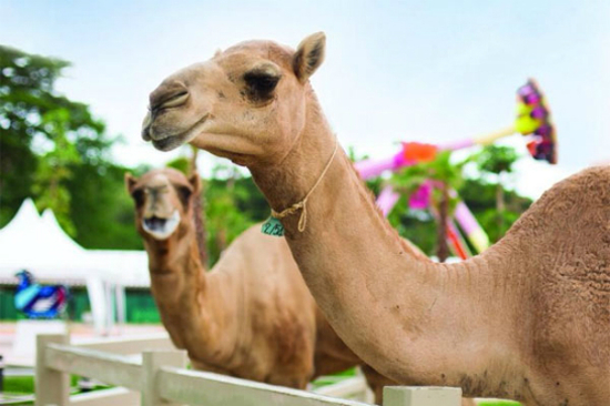 Camel Republic 駱駝共和國