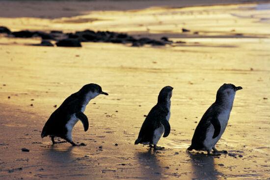 菲利普島神仙企鵝