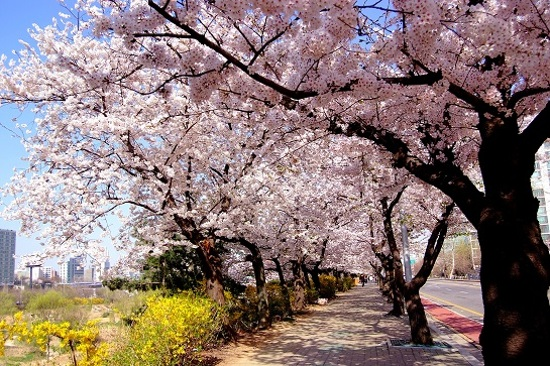 汝矣島輪中路賞櫻(4月1至16日出發適用)