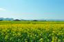 赤壁油菜花
