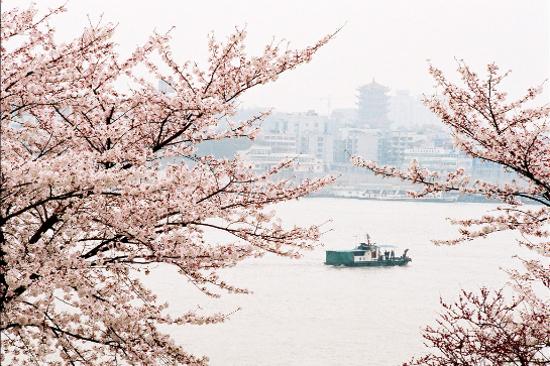 晴川江堤櫻花