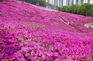 軍浦杜鵑花公園(4月25日至5月15日出發適用)