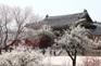 昌慶宮櫻花