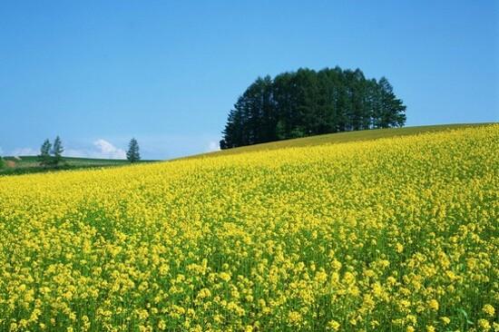 首爾‧漢江盤浦瑞來島(賞油菜花)