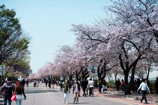 首爾‧汝矣島輪中路(賞櫻花)