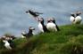 冰島國鳥~海鸚鵡