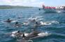 天草海岸觀賞海豚