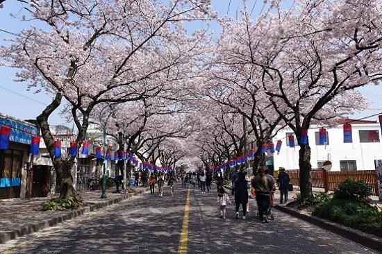 2017濟州吉野櫻花節祝祭