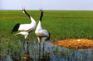 紮龍自然保護區-丹頂鶴
