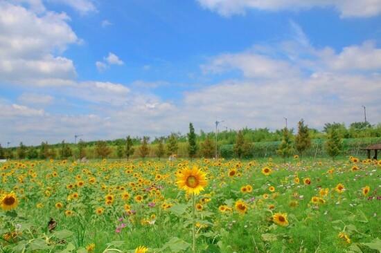 釜山大渚生態公園(賞太陽花)